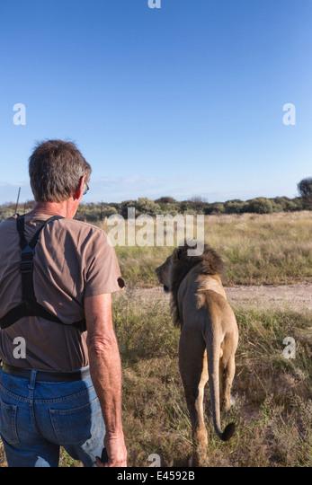 Animal ranger walking with male lion(Panthera leo), Namibia - Stock Image