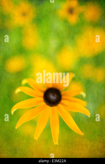 Black-eyed susan in a summer wildflower field in Michigan - Stock Image