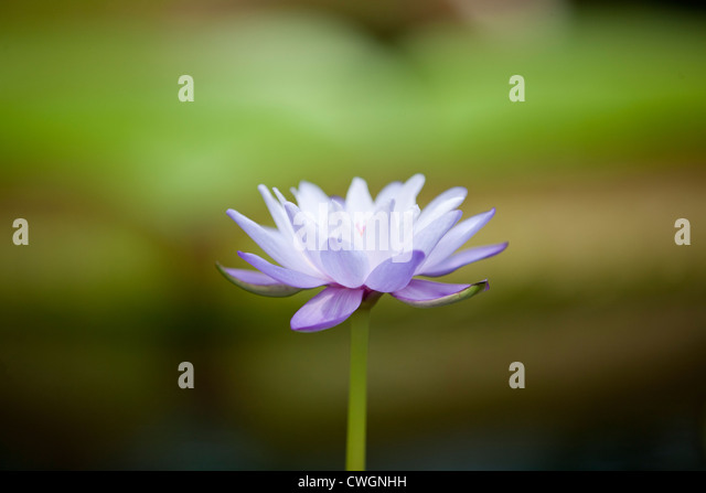A purple water lily in flower - Stock Image