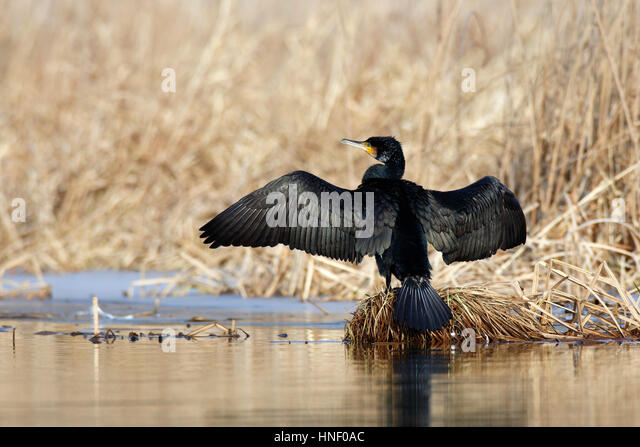 Great cormorant (Phalacrocorax carbo) with outstretched wings, drying feathers on reed pad in lake - Stock Image