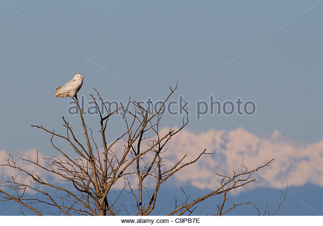 A snowy owl (Nyctea scandiaca) is perched on a bare winter tree Damon Point in Ocean Shores, Washington, with the - Stock Image