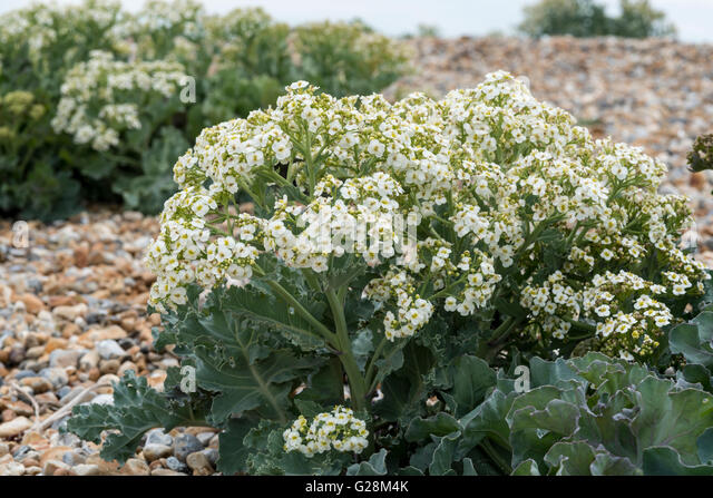 how to grow sea kale from seed