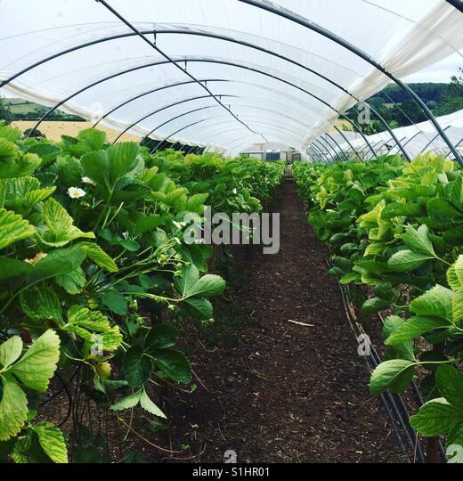 Strawberry picking - Stock-Bilder