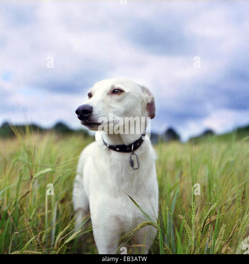 Portrait of Whippet in wheat field - Stock Image