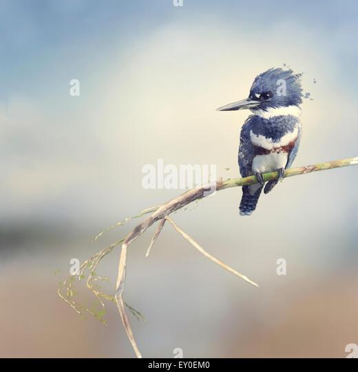 Digital Painting Of Belted Kingfisher - Stock-Bilder