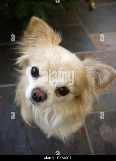 A small male chihuahua dog face stares with ears pricked up - Stock Image