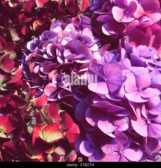 Hydrangea Summer - Stock-Bilder