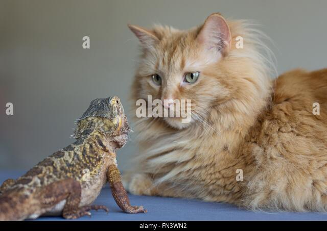 A cat and a bearded dragon looking at each other. - Stock Image