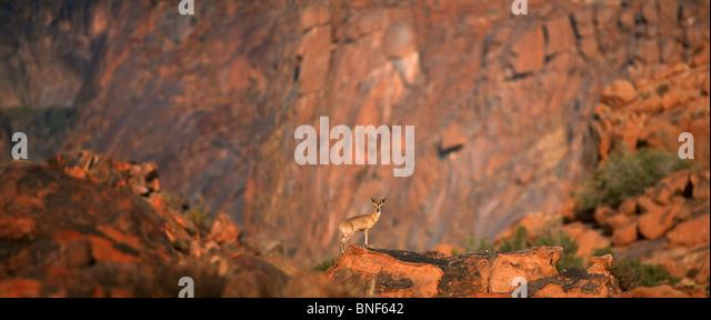 Distant view of Klipspringer (Oreotragus oreotragus) standing on rock, Karoo National Park, Western Cape Province, - Stock Image
