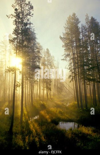Morning mist with light peeping through a lodge pole pine forest and marsh pools. Harriman State Park, Idaho, USA - Stock Image