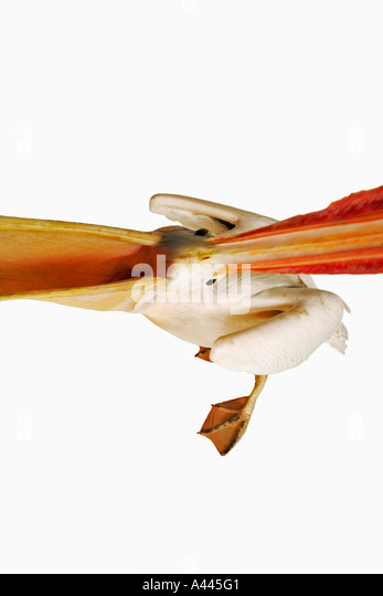White Pelican. Pelecanus onocrotalus. Large birds that live in colonies. Have webbed toes and long flattened bill. - Stock Image