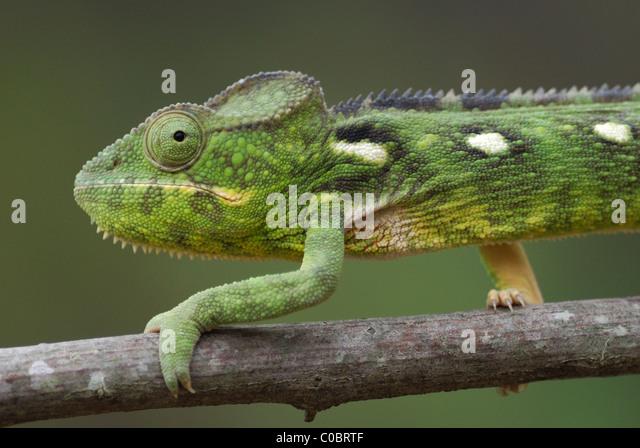 Female Malagasy Giant Chameleon (Furcifer oustaleti) in the Anja Nature Reserve, central Madagascar. August 2010. - Stock-Bilder