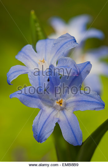 Chionodoxa forbesii Glory-of-the-snow - Stock Image