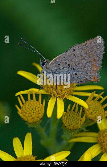 Small Copper (Lycaena phlaeas) on Common Ragwort (Senecio jacobaea) - England - UK - Wings closed-side view - in - Stock Image