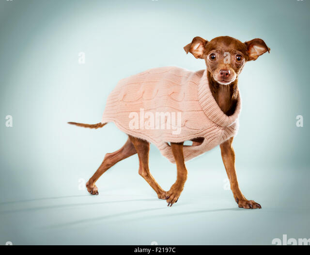 Ginger chihuahua in a pink sweater on studio backdrop. - Stock Image