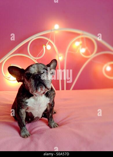 A cute old French bulldog sitting on a pink bed. - Stock-Bilder