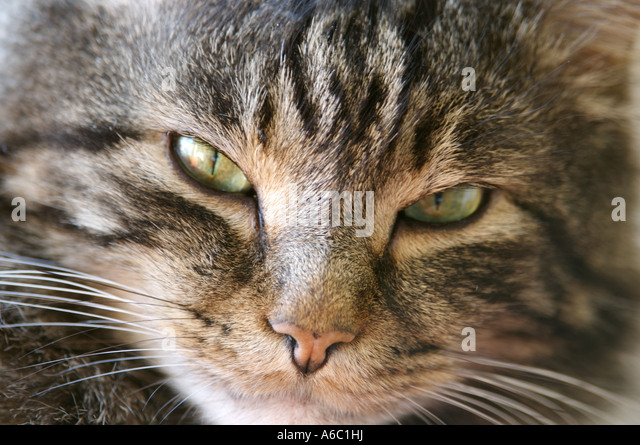 Domestic tabby cat Spring 2007 - Stock Image