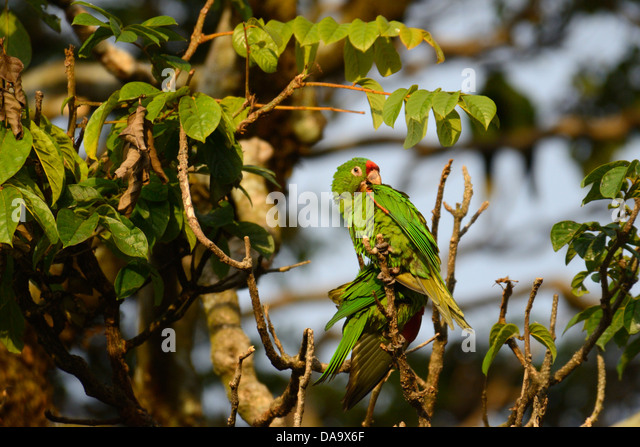 Central America, Costa Rica, San Jose, parrot, green, bird, San Jose, - Stock Image