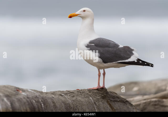 Seagull Medium Looking Out to Sea with copy space - Stock Image
