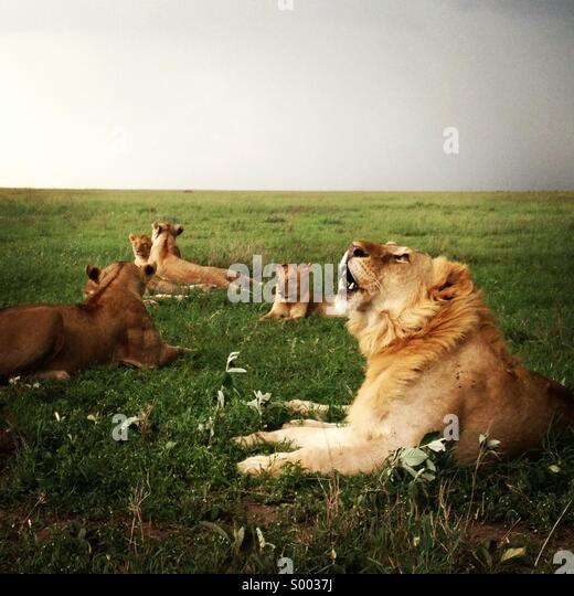 Family of lions lying down in the grass in Serengeti national park, Tanzania. - Stock Image