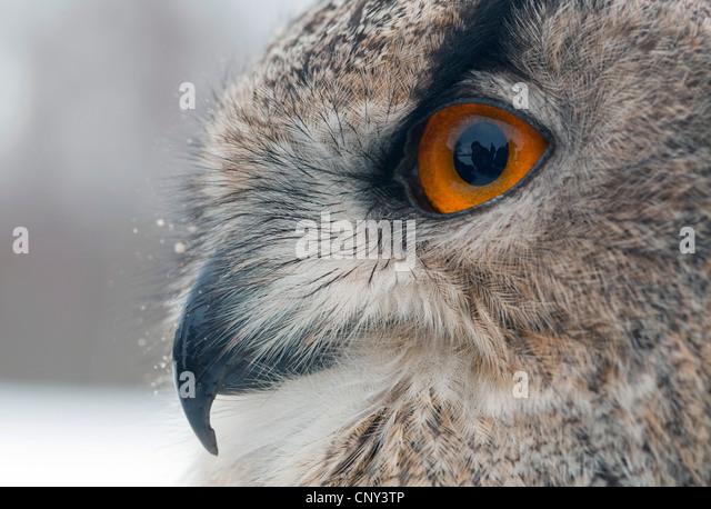 northern eagle owl (Bubo bubo), portrait, United Kingdom, Scotland - Stock Image