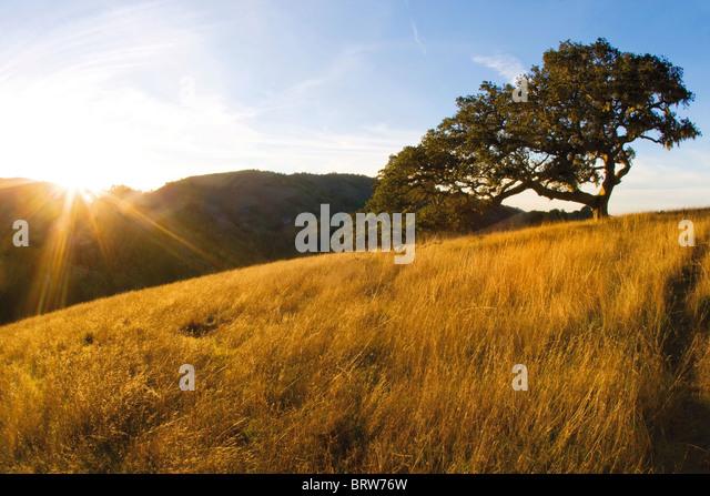 Coast live oak and grassland - Santa Lucia Preserve, CA - Stock Image