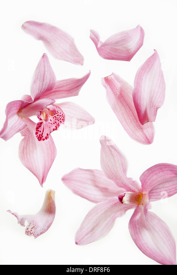 Maryland USA Still life fresh delicate pink plant petals - Stock Image