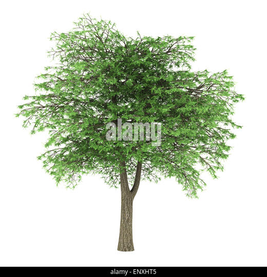 lebanon cedar tree isolated on white background - Stock Image