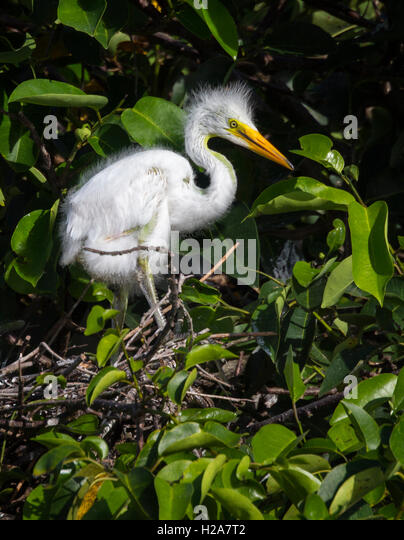 A White Egret chick looks around from its nest curiously after a feeding in this color portrait. - Stock Image