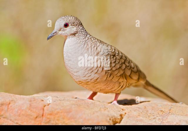 Inca Dove (Scardafella inca) perched on a red rock in the Rio Grande Valley of Texas, USA - Stock Image