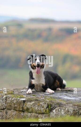Appenzeller Sennenhund or Appenzell Mountain Dog lying on a wall, Germany - Stock Image