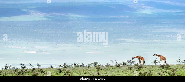 Masai Giraffes (Giraffa camelopardalis) on open plains browsing Whistling Thorn Acacia (Acacia drepanolobium). Slopes - Stock Image