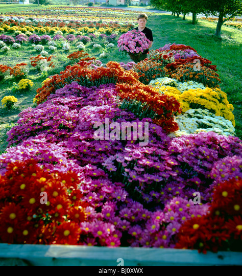 Worker loading flowers into a cart in the fields of 'Mums by Paschke', a 3rd generation nursery in North - Stock Image