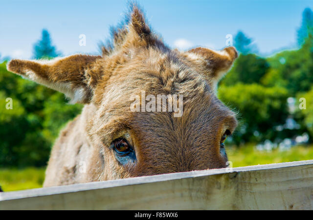 Shy Donkey Behind A Wooden Fence - Stock Image