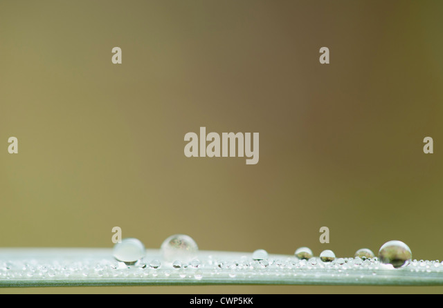 Dew drops on blade of grass - Stock Image