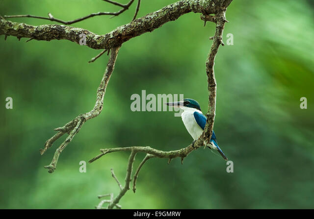 Collared kingfisher (Todiramphus chloris) perching on a mangrove tree while hunting next to a river - Stock Image
