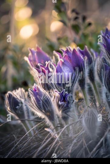 Very rare pulsatilla patens flower in the evening light. - Stock Image