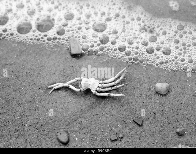 A dead crab victim of an eco catastrophe on the White Sea shore - Stock Image