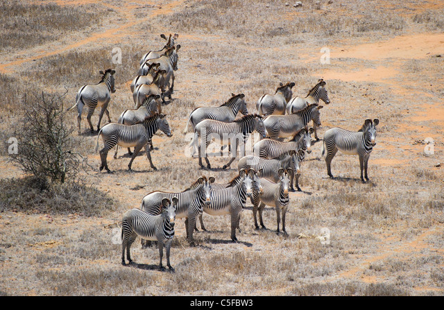 Aerial view of Grevy's zebra (Equus grevyi) in Kenya - Stock Image