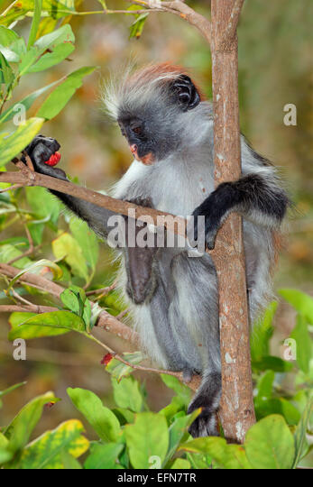 Endangered Zanzibar red colobus monkey (Procolobus kirkii), Jozani forest, Zanzibar - Stock Image