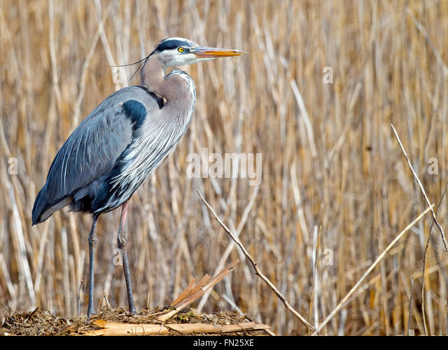 Great Blue Heron - Stock-Bilder