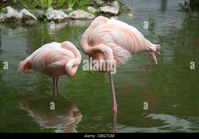 Flamingos Sleeping in Punta Cana, Dominican Republic - Stock Image