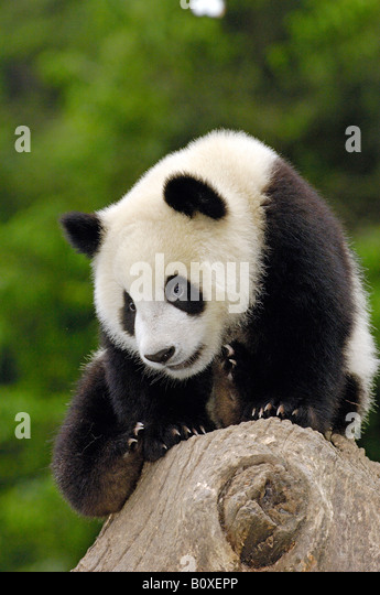 Giant Panda (Ailuropoda melanoleuca). Young individual sitting on a tree stump - Stock Image