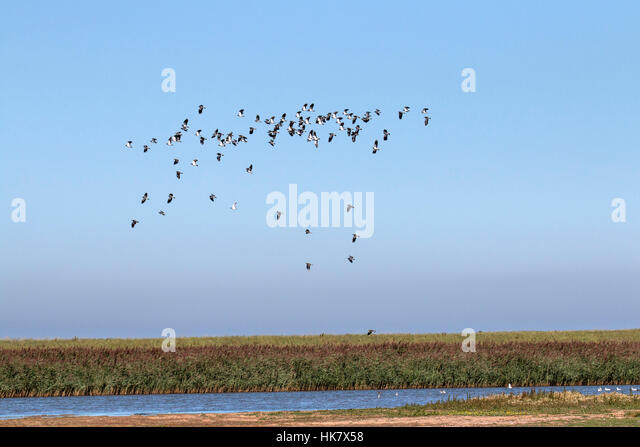 Flock of Lapwings flying over Deepdale Marsh north Norfolk - Stock-Bilder