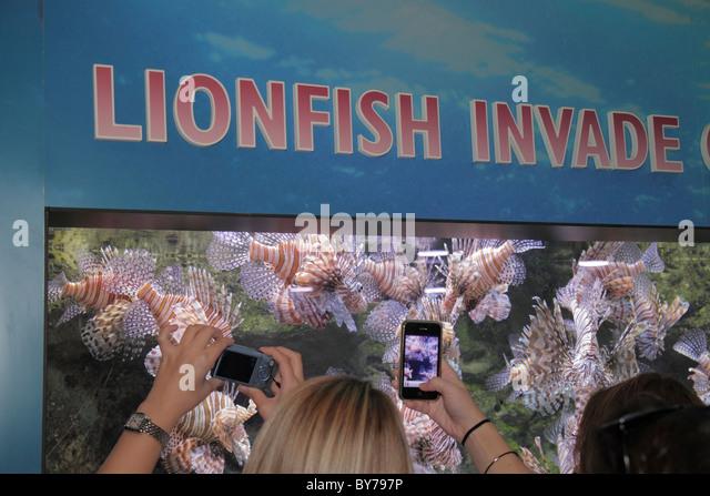 Atlanta Georgia Pemberton Place Georgia Aquarium habitat marine life red lionfish fish venomous predator environment - Stock Image