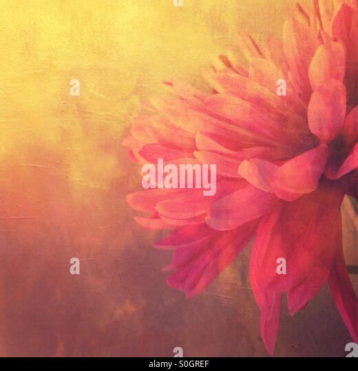 Pink Dahlia flower against a golden background - Stock Image
