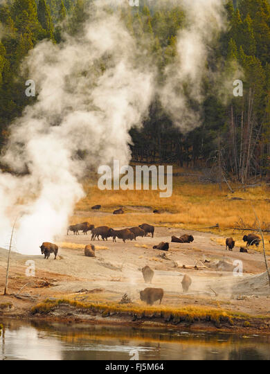 American bison, buffalo (Bison bison), herd of buffalos in front of hot springs, USA, Wyoming, Yellowstone National - Stock Image