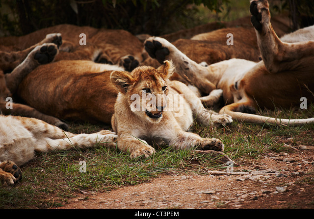 Lion pack relaxing in grass - Stock Image