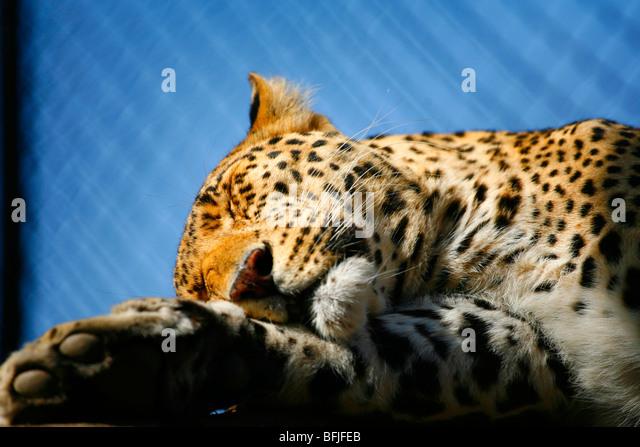 leopard sleeping - Stock Image