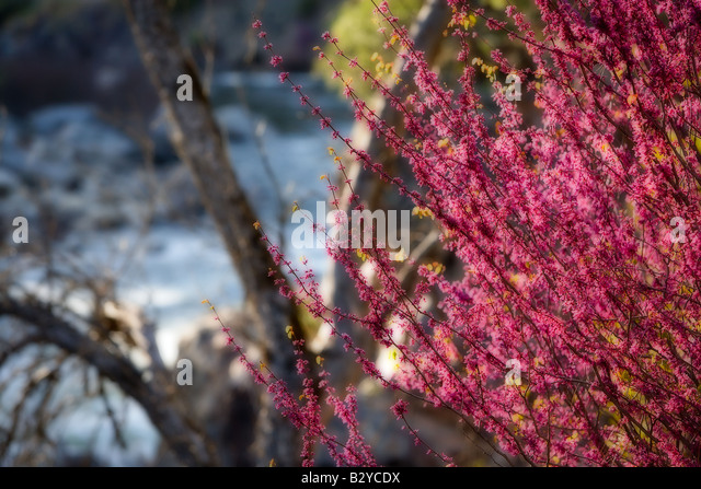 Redbud grows in abundance in late March and early April in the Merced River Canyon near Yosemite National Park California - Stock-Bilder